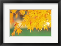 Framed Yellow Maple Leaves, Autumn