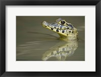 Framed Close-up of a caiman in lake, Pantanal Wetlands, Brazil