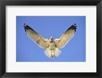 Framed Ring Billed Gull (Larus delawarensis) in flight, California, USA