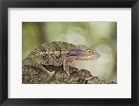 Framed Close-up of a chameleon on a branch, Madagascar