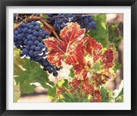 Framed Grapes on the Vine, Wine Country, California