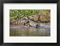 Framed Yacare caiman at riverbank, Three Brothers River, Meeting of the Waters State Park, Pantanal Wetlands, Brazil