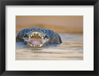 Framed Yacare caiman in a river, Three Brothers River, Meeting of the Waters State Park, Pantanal Wetlands, Brazil