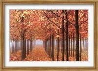 Framed Willamette Valley Maples