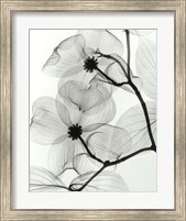 Framed Dogwood Blossoms - Positive
