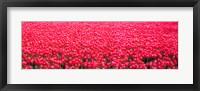 Framed Fields of tulips Alkmaar Vicinity Netherlands