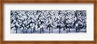 Framed Snow covered Cedar trees Kyoto Hanase Japan