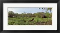 Framed Komodo Dragon (Varanus komodoensis) in a field, Rinca Island, Indonesia