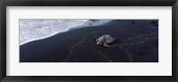Framed Hawksbill Turtle (Eretmochelys Imbricata) on the beach, Punaluu Beach, Hawaii, USA