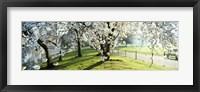 Framed Cherry blossom in St. James's Park, City of Westminster, London, England