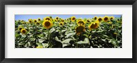 Framed Sunflower field, California, USA