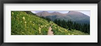 Framed Hiking trail with Beargrass (Xerophyllum tenax) at US Glacier National Park, Montana