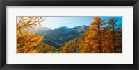 Framed Larch trees in autumn at Simplon Pass, Valais Canton, Switzerland