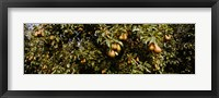 Framed Close Up of Pear trees in an orchard, Hood River, Oregon