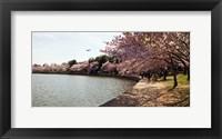 Framed Cherry Blossom trees at Tidal Basin, Washington DC, USA