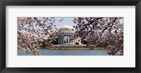 Framed Cherry Blossom trees in the Tidal Basin with the Jefferson Memorial in the background, Washington DC