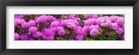 Framed Hydrangeas flowers, Union Township, Union County, New Jersey, USA