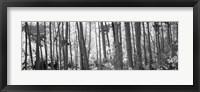 Framed Aspen tree trunks in black and white, Colorado, USA