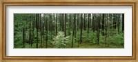 Framed Flowering Dogwood, Alabama