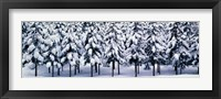 Framed Snow covered Cedar trees Kyoto Hanase Japan
