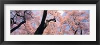 Framed Pink Blossoms, Nagano Japan