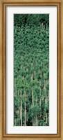 Framed Kitayama Cedar trees Kyoto Japan