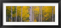 Framed Aspen Trees in Telluride, Colorado