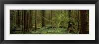 Framed Trees in a forest, Hoh Rainforest, Olympic Peninsula, Washington State, USA