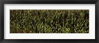 Framed Corn field, New York State