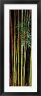 Framed Close-up of bamboos, Kanapaha Botanical Gardens, Gainesville, Florida, USA