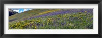 Framed Hillside with yellow sunflowers and purple larkspur, Crested Butte, Gunnison County, Colorado, USA