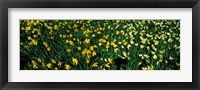 Framed Daffodils in Green Park, City of Westminster, London, England