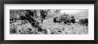 Framed Olive Grove, Majorca, Balearic Islands, Spain