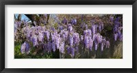 Framed Wisteria flowers in bloom, Sonoma, California, USA