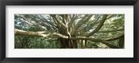 Framed Banyan Tree, Maui, Hawaii