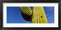 Framed Low angle view of Saguaro cactus (Carnegiea gigantea), Saguaro National Park, Arizona, USA