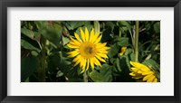 Framed Bee on sunflower, Baden-Wurttemberg, Germany