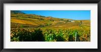 Framed Vineyards in Valais Canton, Switzerland