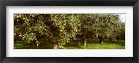 Framed Pear trees in an orchard, Hood River, Oregon