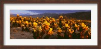 Framed Cholla cactus at sunset, Joshua Tree National Park, California