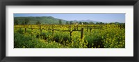 Framed Wild mustard in a vineyard, Napa Valley, California