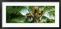 Framed Coconuts on a palm tree, Varadero, Matanzas Province, Cuba