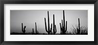 Framed Black and White Silhouette of Saguaro cacti, Saguaro National Park, Arizona