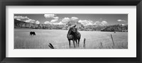 Framed Horses Grazing at Kolob Reservoir, Utah (black & white)