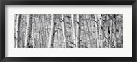 Framed Aspen trees in Winter, Rock Creek Lake, California