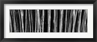 Framed Bamboo trees in a botanical garden, Kanapaha Botanical Gardens, Gainesville, Alachua County, Florida (black and white)