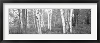 Framed Birch trees in a forest, Acadia National Park, Hancock County, Maine (black and white)
