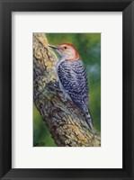 Framed Red Bellied Woodpecker