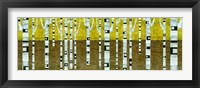 Framed Birches in Fall