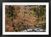 Framed Dogwoods & Sequoia